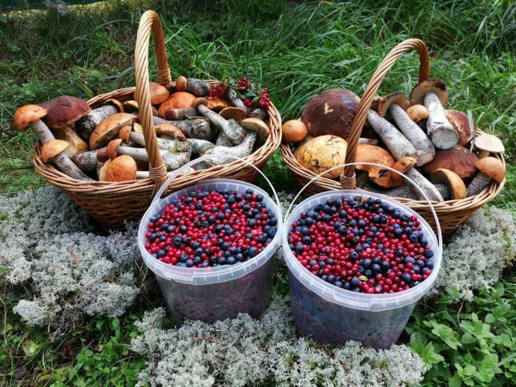 Где жители Якутска собирают ягоды и грибы