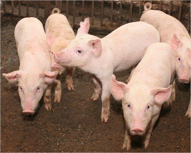 Якутскую свинину ждет большое будущее