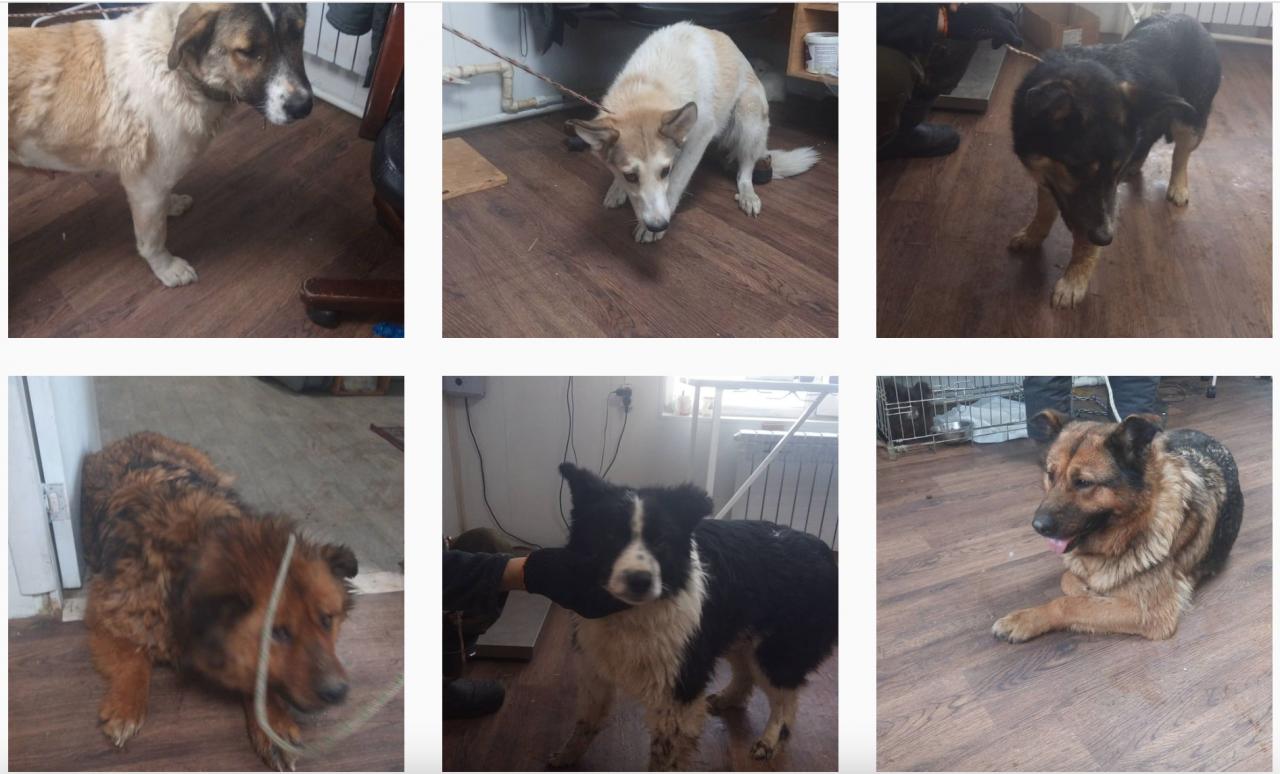 За день в Якутске отловили 15 бездомных собак