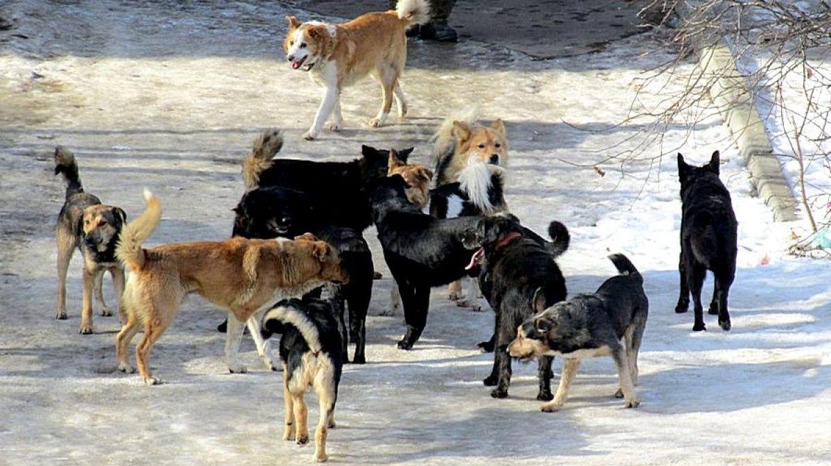 Жители Гагаринского округа Якутска просят разобраться с бродячими собаками