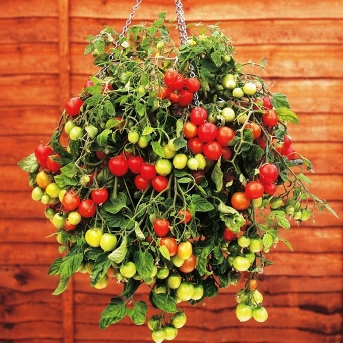 Необычные способы выращивания томатов