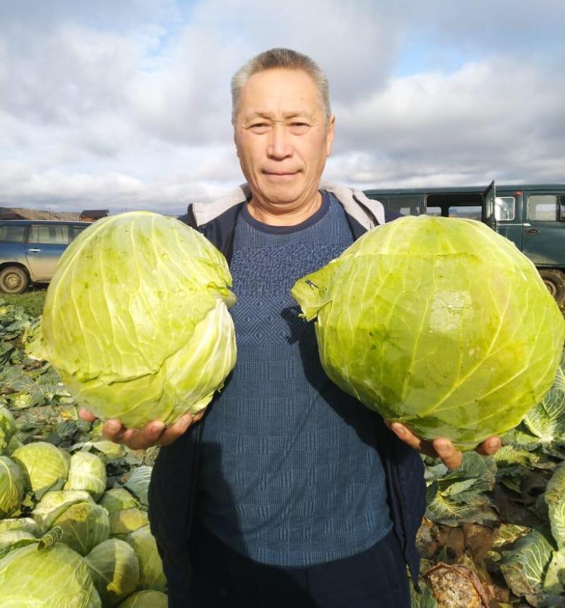 Капусты много не бывает! 9 тысяч тонн овощей вырастили в Якутске