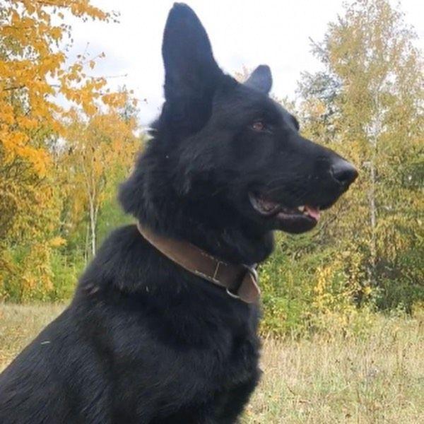 Служебная собака помогла задержать вора в Якутске