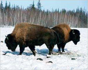 Бизонов выпустят на волю