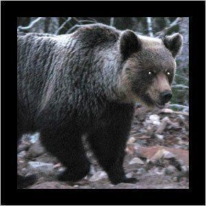 Усть-Маю терроризируют медведи-людоеды