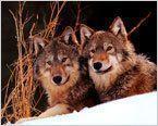 О бедном волке замолвите слово